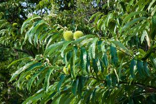 farm[chestnut_orchard]_11の写真素材 [FYI00445965]