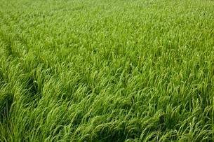 farm[paddy_field]_25の写真素材 [FYI00445966]