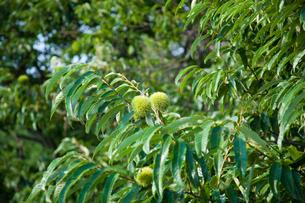 farm[chestnut_orchard]_10の写真素材 [FYI00445967]