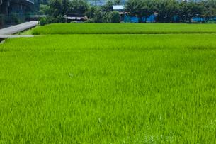 farm[paddy_field]_54の写真素材 [FYI00445971]