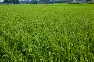 farm[paddy_field]_55の写真素材 [FYI00445973]