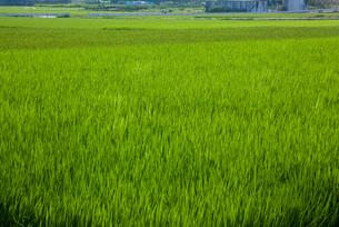 farm[paddy_field]_53の写真素材 [FYI00445974]