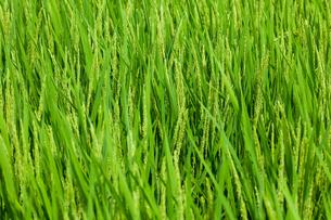 farm[paddy_field]_49の写真素材 [FYI00445982]