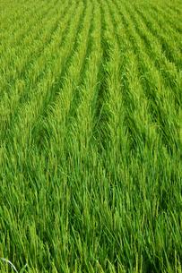 farm[paddy_field]_37の写真素材 [FYI00445983]