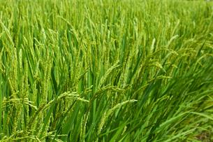 farm[paddy_field]_50の写真素材 [FYI00445988]