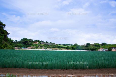 scene[long_green_onion_field]_11の素材 [FYI00446020]