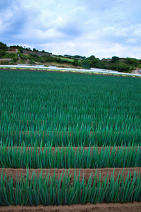 scene[long_green_onion_field]_07の写真素材 [FYI00446028]