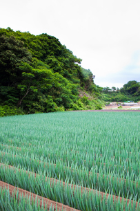scene[long_green_onion_field]_10の写真素材 [FYI00446029]