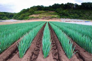 scene[long_green_onion_field]_04の写真素材 [FYI00446039]