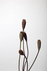 flower[com_poppy]seed_004の写真素材 [FYI00446043]