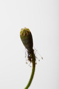flower[com_poppy]seed_007の写真素材 [FYI00446044]