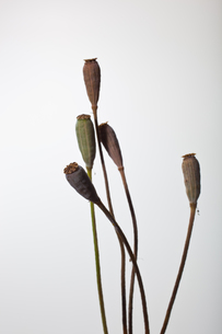 flower[com_poppy]seed_005の写真素材 [FYI00446051]