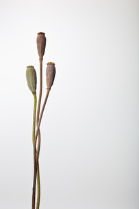 flower[com_poppy]seed_001の写真素材 [FYI00446054]