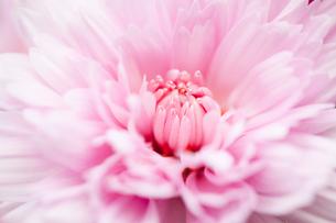 flower[belgian_mum]_01の写真素材 [FYI00446062]