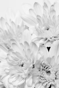 flower[chrysanthemum]_06の写真素材 [FYI00446095]