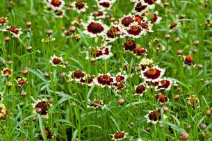 flower[rhodanthemum_'african_eyes]_01の写真素材 [FYI00446106]