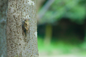 insect[evening_cicada]_02の写真素材 [FYI00446108]