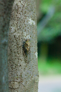 insect[evening_cicada]_01の写真素材 [FYI00446125]