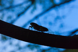 insect[evening_cicada]_03の写真素材 [FYI00446133]