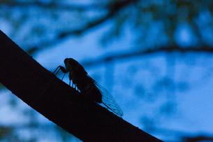 insect[evening_cicada]_04の写真素材 [FYI00446136]