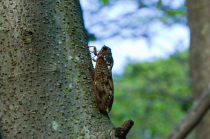 insect[large_brown_cicada]_01の写真素材 [FYI00446141]