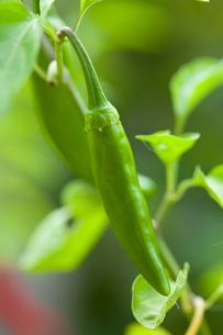 vegetables[cayenne]_03の素材 [FYI00446148]
