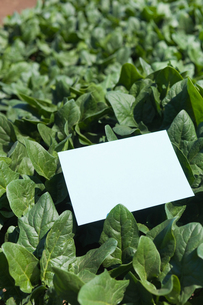 letter[spinach]_002の写真素材 [FYI00446283]