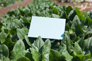 letter[spinach]_004の写真素材 [FYI00446316]