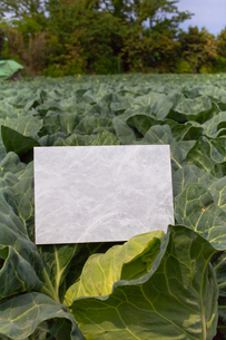 letter[cabbage]_17の写真素材 [FYI00446394]