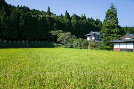 scene[rice_paddy]_05の素材 [FYI00446428]
