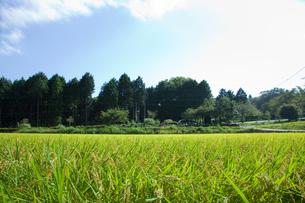 scene[rice_paddy]_04の素材 [FYI00446437]