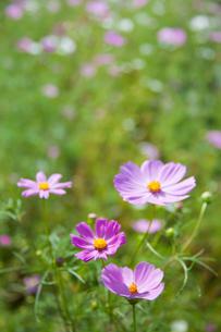 flower[cosmos]_07の写真素材 [FYI00446615]