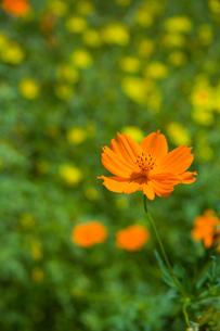 flower[cosmos]_12の素材 [FYI00446619]