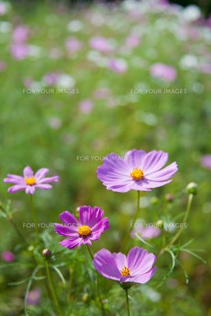 flower[cosmos]_08の素材 [FYI00446624]