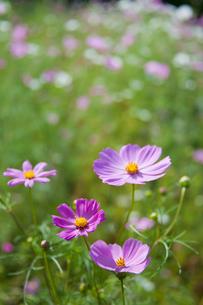 flower[cosmos]_08の写真素材 [FYI00446624]