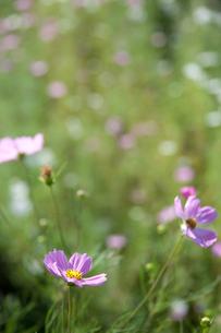 flower[cosmos]_05の写真素材 [FYI00446636]