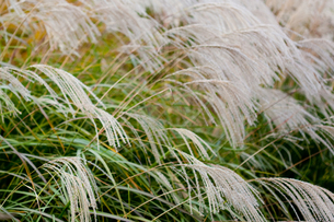 flower[Japanese_pampas_grass]_06の写真素材 [FYI00446643]