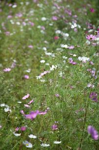 flower[cosmos]_03の写真素材 [FYI00446645]