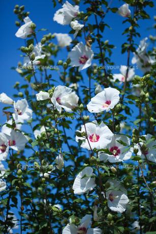 flower[rose_of_sharon]_20の素材 [FYI00446672]