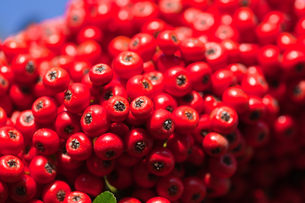 seed[coralberry]_05の写真素材 [FYI00446681]