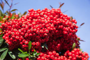 seed[coralberry]_01の写真素材 [FYI00446690]