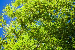 background[bamboo_leaf]_03の写真素材 [FYI00446731]