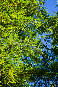 background[bamboo_leaf]_01の写真素材 [FYI00446736]