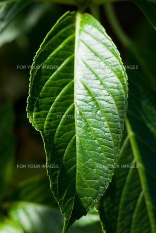 background[hydrangea]_01の素材 [FYI00446752]