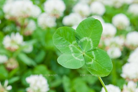 flower[white_clover]_12の素材 [FYI00446956]