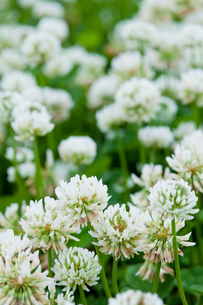 flower[white_clover]_03の写真素材 [FYI00446962]