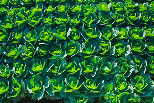 background[cabbage_field]_02の写真素材 [FYI00446967]