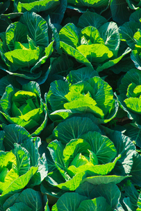 background[cabbage_field]_11の写真素材 [FYI00446970]