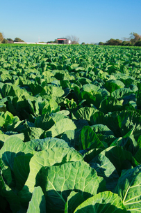 background[cabbage_field]_17の写真素材 [FYI00446974]