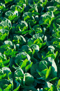 background[cabbage_field]_12の写真素材 [FYI00446977]